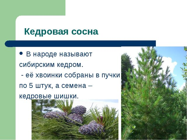 Кедровая сосна В народе называют сибирским кедром. - её хвоинки собраны в пу...