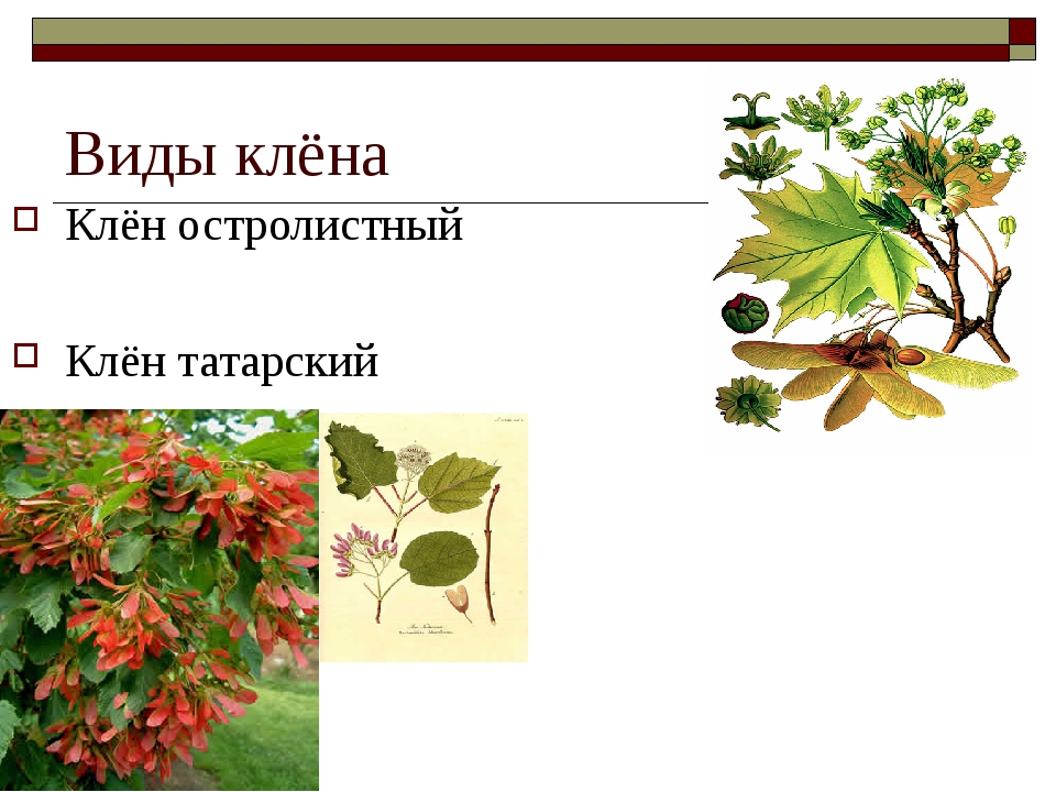 Виды клёна Клён остролистный Клён татарский