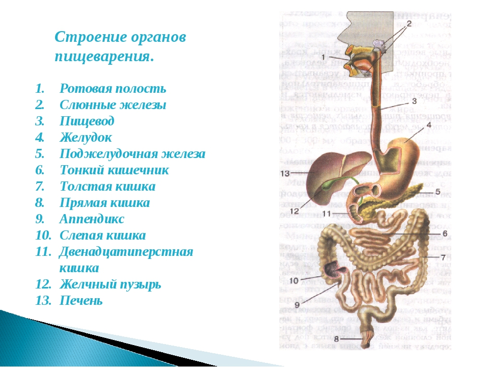 Строение органов пищеварения. Ротовая полость Слюнные железы Пищевод Желудок...