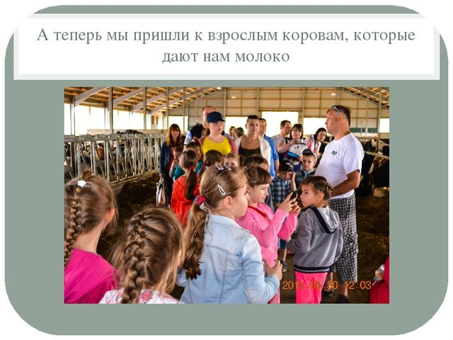 А теперь мы пришли к взрослым коровам, которые дают нам молоко