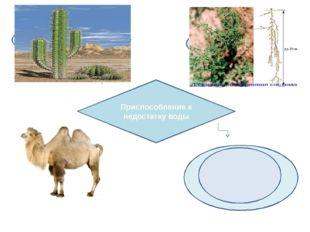 Приспособление к недостатку воды Хорошо развита корневая система Накапливают
