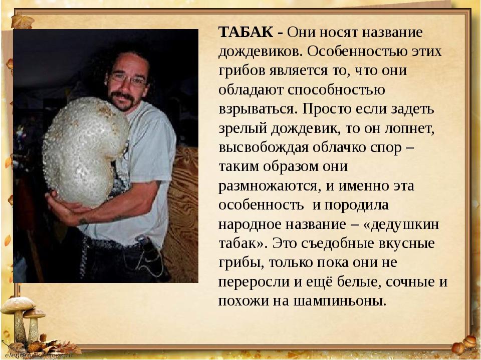 ТАБАК - Они носят название дождевиков. Особенностью этих грибов является то,...