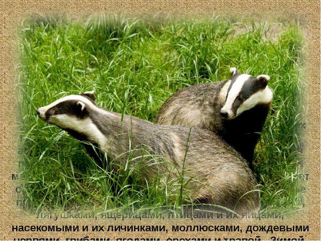 Барсук – хищное млекопитающее. Обитает барсук в глубоких норах. Барсук ведёт...