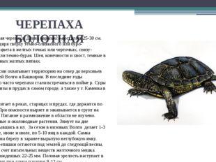 ЧЕРЕПАХА БОЛОТНАЯ Это небольшая черепаха. Длина карапакса достигает 25-30 см.
