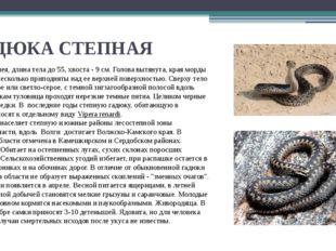 ГАДЮКА СТЕПНАЯ Небольшая змея, длина тела до 55, хвоста - 9 см. Голова вытяну