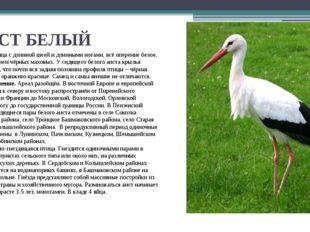 АИСТ БЕЛЫЙ Крупная птица с длинной шеей и длинными ногами, всё оперение белое