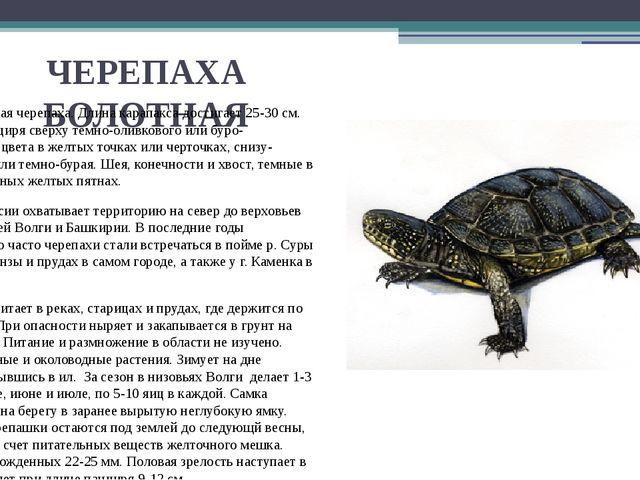 ЧЕРЕПАХА БОЛОТНАЯ Это небольшая черепаха. Длина карапакса достигает 25-30 см....