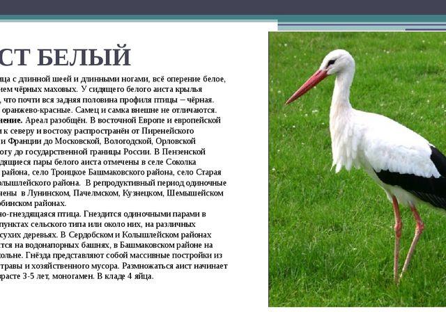 АИСТ БЕЛЫЙ Крупная птица с длинной шеей и длинными ногами, всё оперение белое...