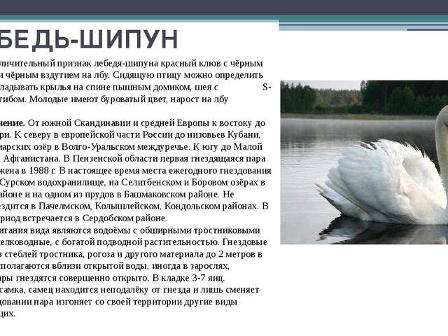 ЛЕБЕДЬ-ШИПУН Основной отличительный признак лебедя-шипуна красный клюв с чёрн...