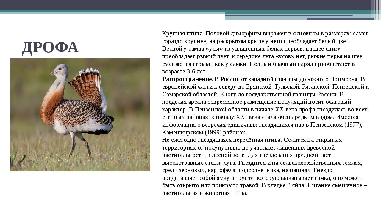 ДРОФА Крупная птица. Половой диморфизм выражен в основном в размерах: самец г...
