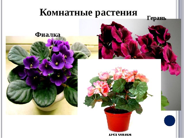 Комнатные растения Бегония Герань Фиалка