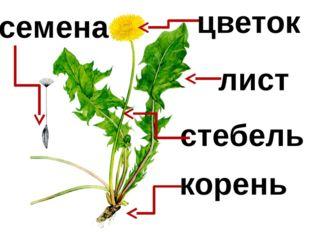 корень стебель лист цветок семена