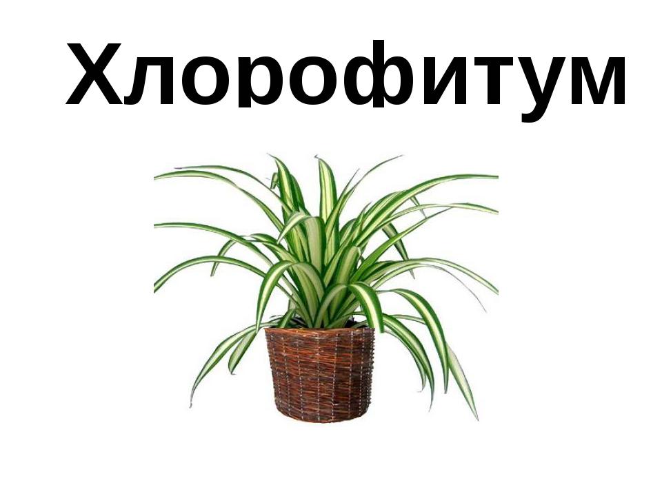 Хлорофитум
