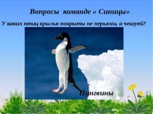 Вопросы команде « Синицы» У каких птиц крылья покрыты не перьями, а чешуей?
