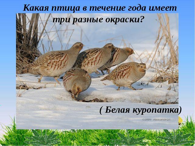Какая птица в течение года имеет три разные окраски? ( Белая куропатка)
