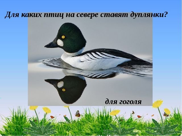 для гоголя Для каких птиц на севере ставят дуплянки? для гоголя