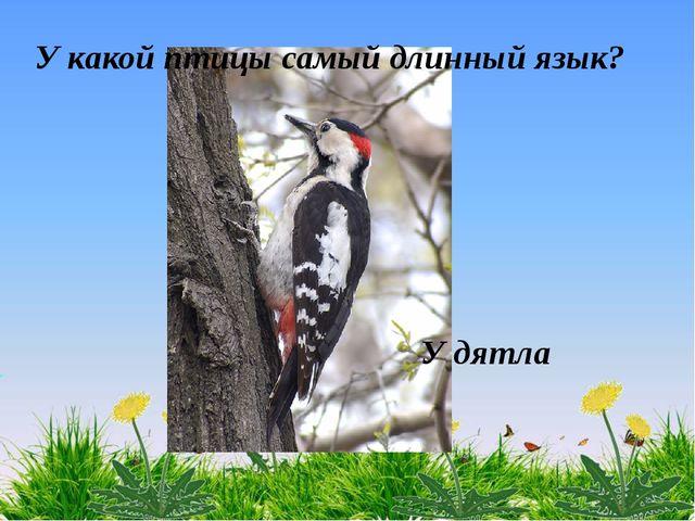 У дятла У какой птицы самый длинный язык?