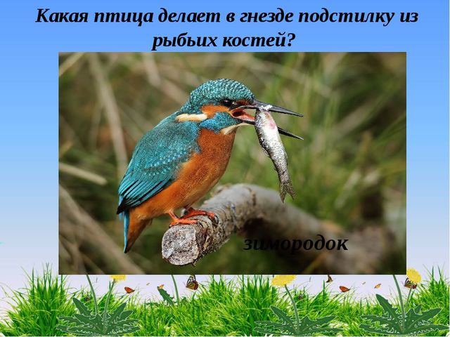 Какая птица делает в гнезде подстилку из рыбьих костей? зимородок