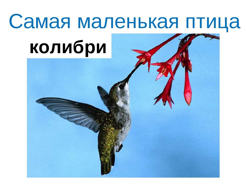 Самая маленькая птица колибри