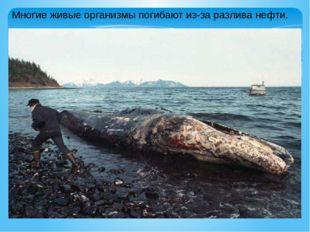 Многие живые организмы погибают из-за разлива нефти.