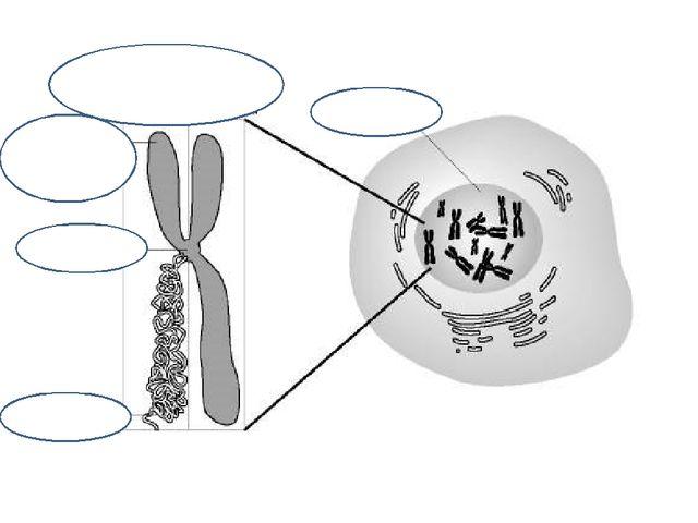 ядро хромосомы