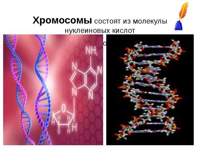Хромосомы состоят из молекулы нуклеиновых кислот ген-это участок молекулы