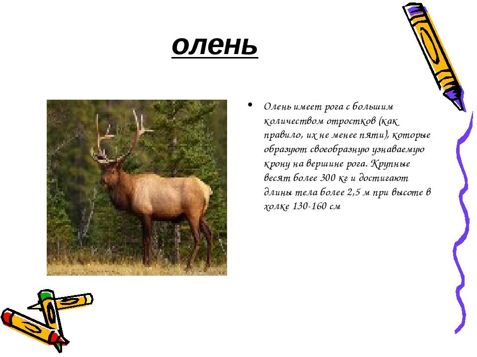 олень Олень имеет рога с большим количеством отростков (как правило, их не ме...