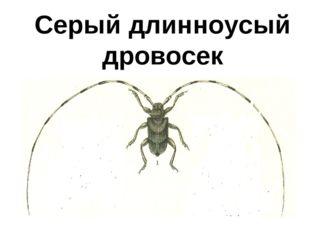 Серый длинноусый дровосек