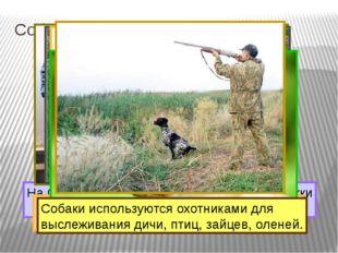 Собака – помощник человека. На Севере ездовые собаки перевозят упряжки с людь