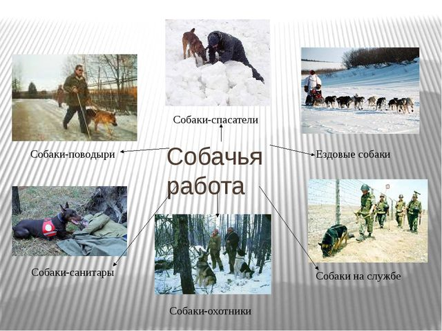 Собачья работа Собаки-поводыри Собаки-спасатели Ездовые собаки Собаки-санитар...