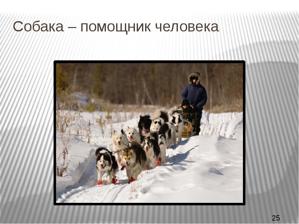 Собака – помощник человека Собака – верный друг и помощник человека. На север...