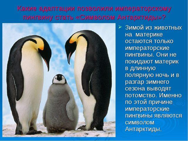 Какие адаптации позволили императорскому пингвину стать «Символом Антарктиды»...
