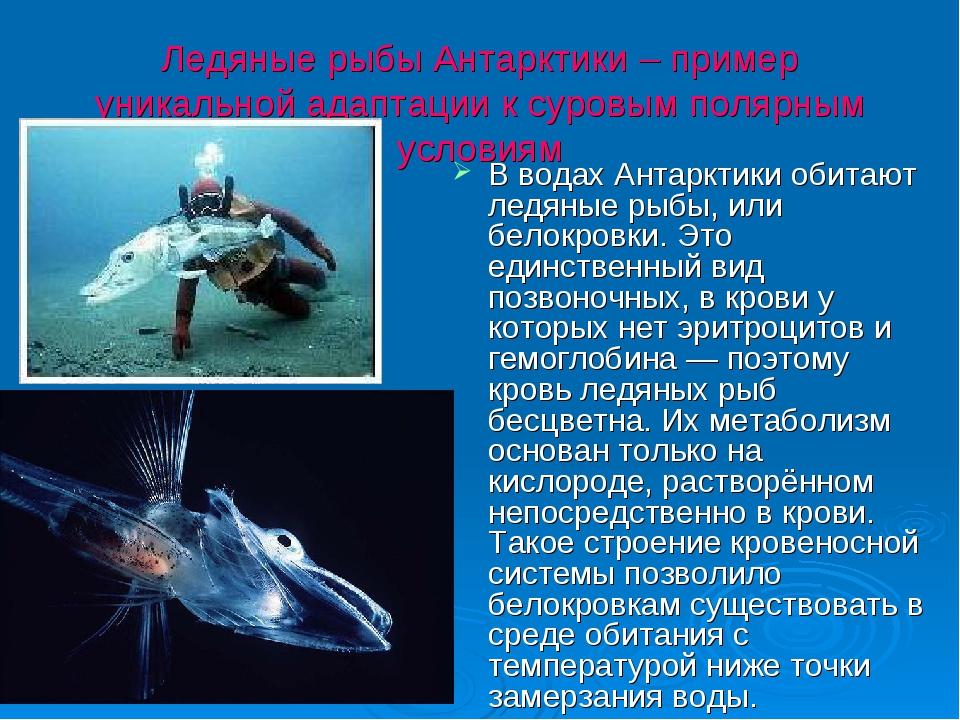 Ледяные рыбы Антарктики – пример уникальной адаптации к суровым полярным усло...