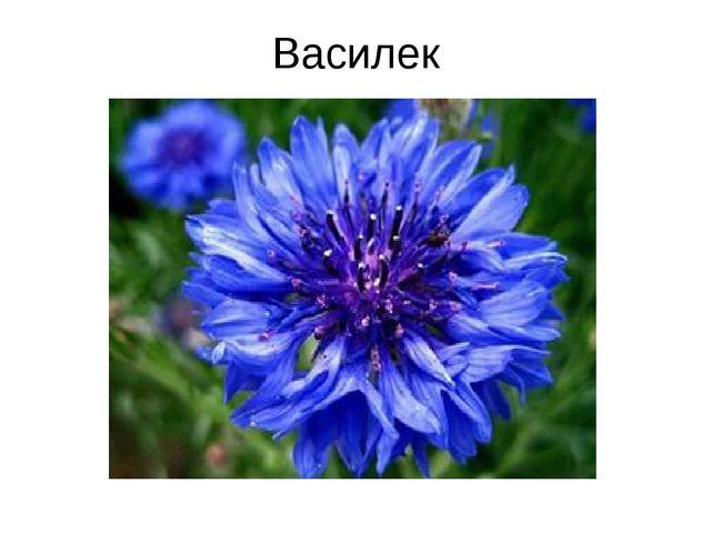 Василек