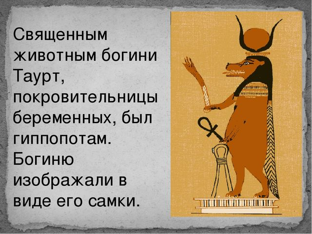 Священным животным богини Таурт, покровительницы беременных, был гиппопотам....