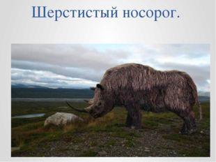 Шерстистый носорог.