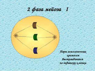 2 фаза мейоза I Пары гомологичных хромосом выстраиваются по экватору клетки