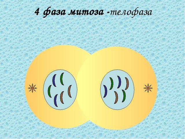 4 фаза митоза -телофаза