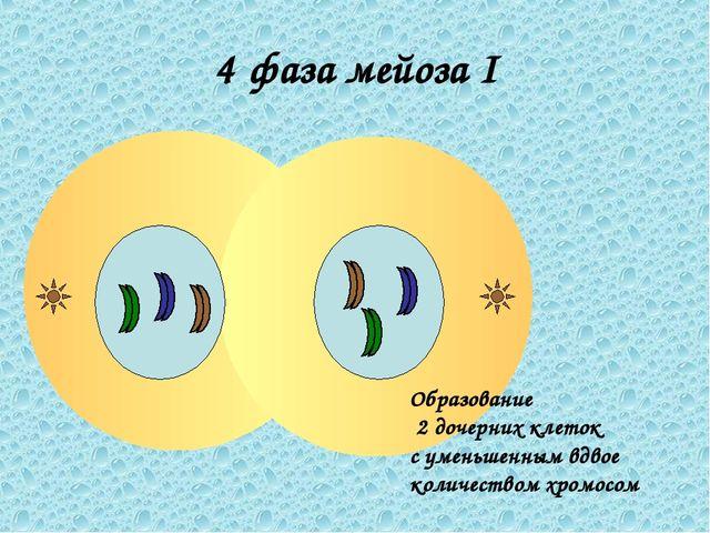 4 фаза мейоза I Образование 2 дочерних клеток с уменьшенным вдвое количеством...