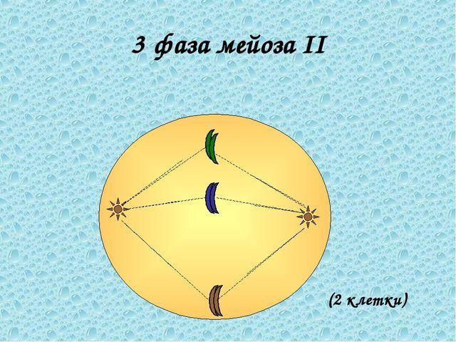 3 фаза мейоза II (2 клетки)