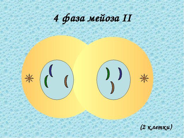 4 фаза мейоза II (2 клетки)