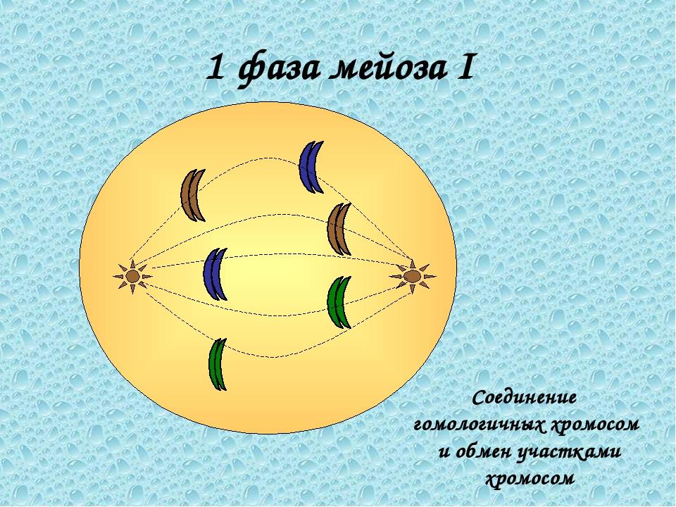 1 фаза мейоза I Соединение гомологичных хромосом и обмен участками хромосом