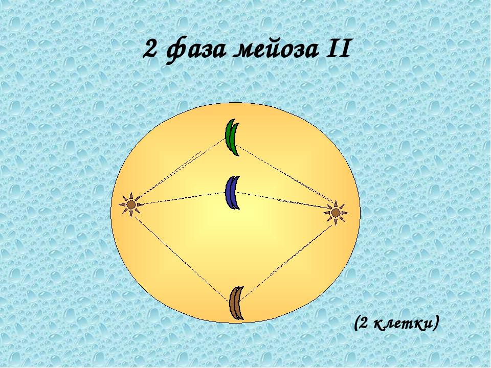 2 фаза мейоза II (2 клетки)