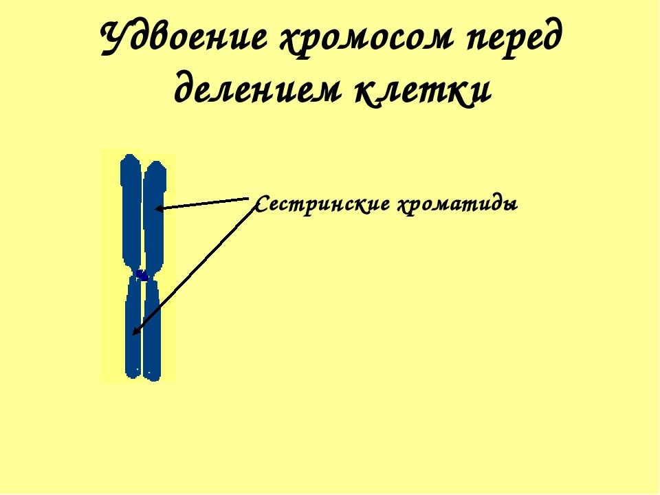 Удвоение хромосом перед делением клетки Сестринские хроматиды