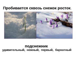 Пробивается сквозь снежок росток. удивительный, нежный, первый, бархатный под