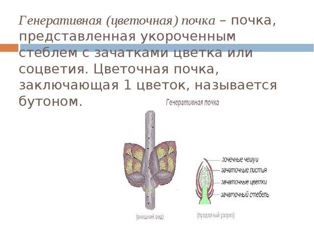 Генеративная (цветочная) почка– почка, представленная укороченным стеблем с...