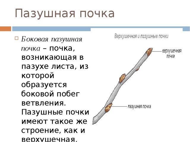 Пазушная почка Боковая пазушная почка– почка, возникающая в пазухе листа, из...