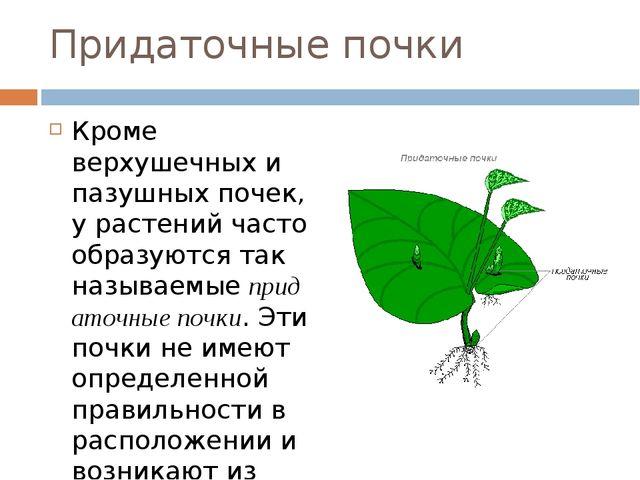 Придаточные почки Кроме верхушечных и пазушных почек, у растений часто образу...