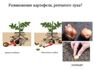 Размножение картофеля, репчатого лука? луковицей