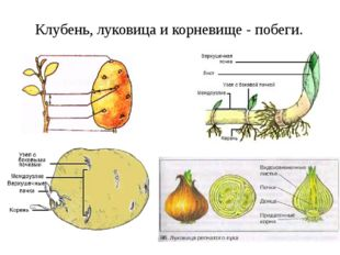 Клубень, луковица и корневище - побеги.